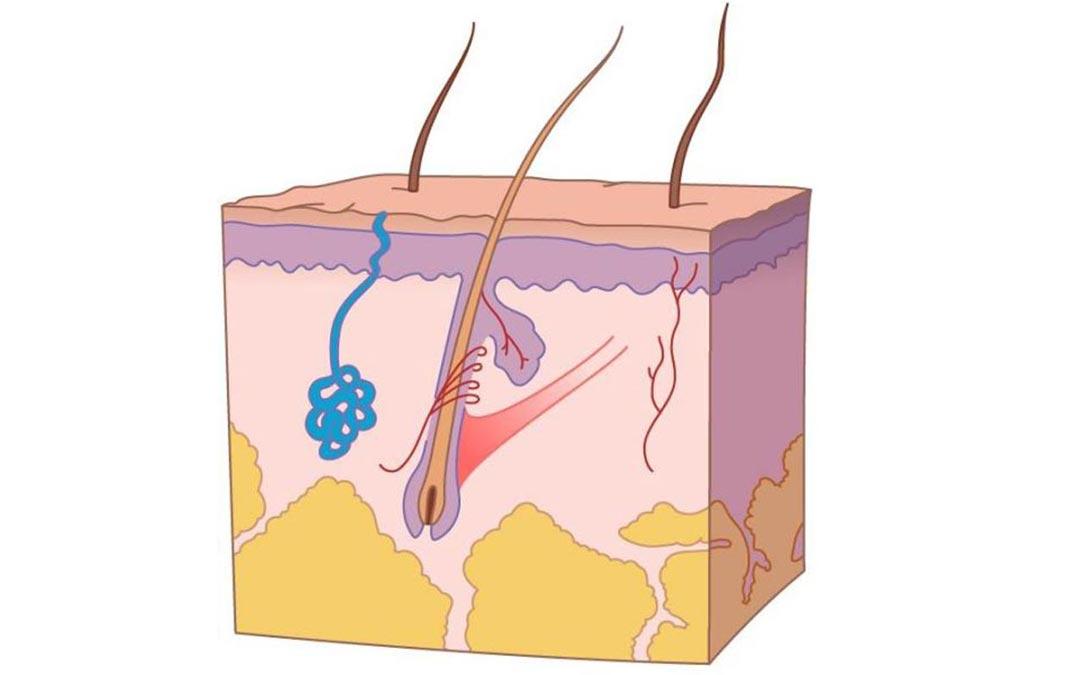 Građa i funkcija kože